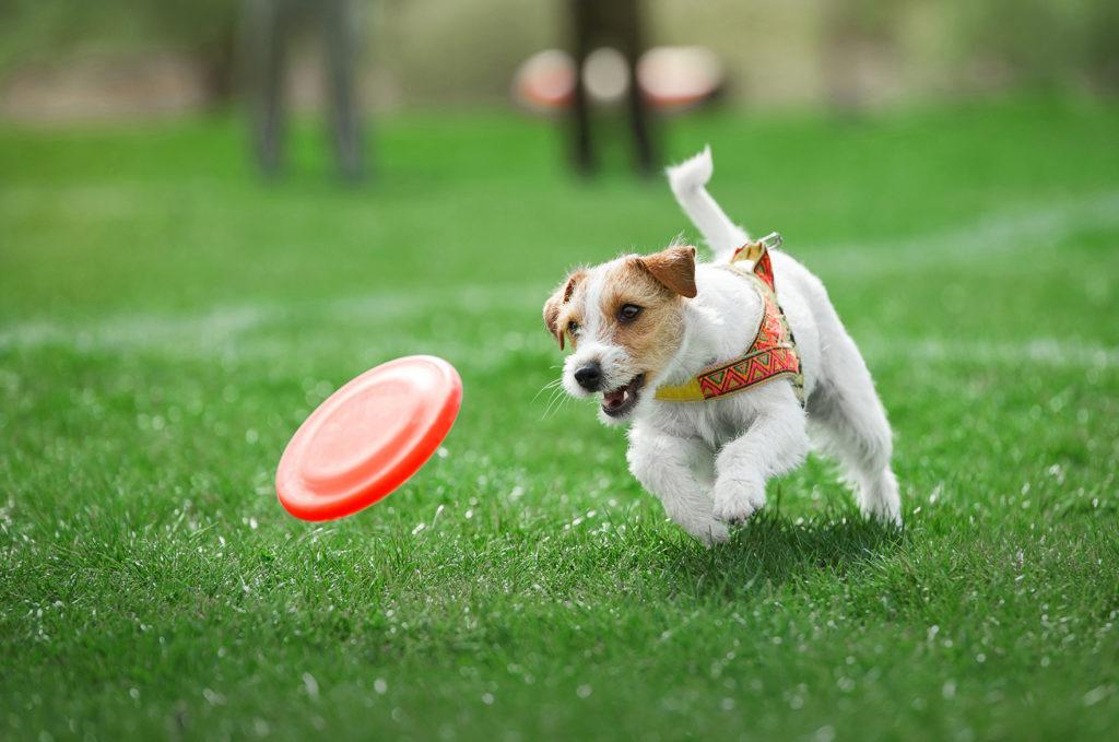 Koira leikkii