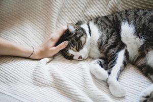 Kissa makoilee sängyllä ja omistaja silittää sen päätä
