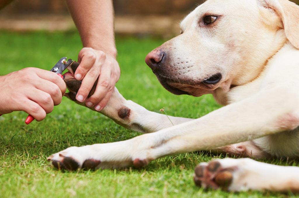 koiran kynsien leikkaaminen