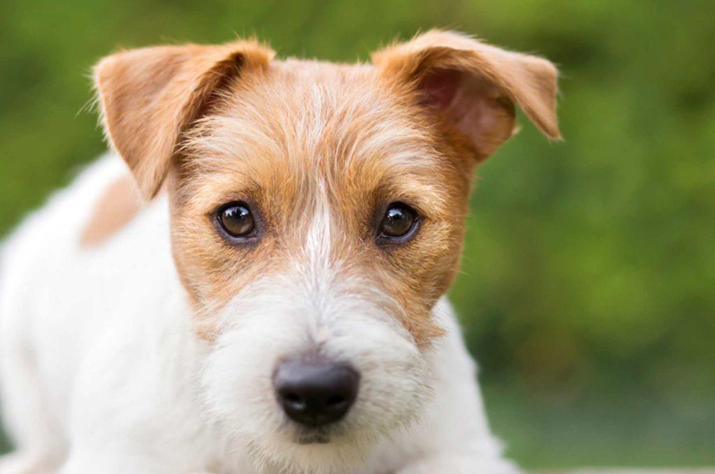 Koira katsoo silmiin