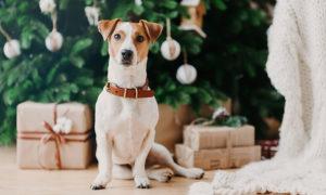 Koira joulukuusen alla