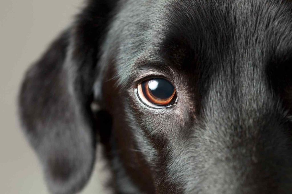 Koira katsoo