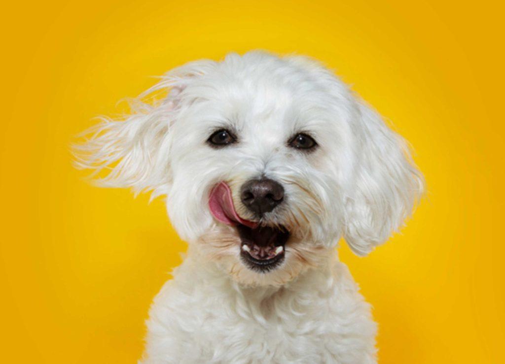 Pienten koirien hammasongelmat