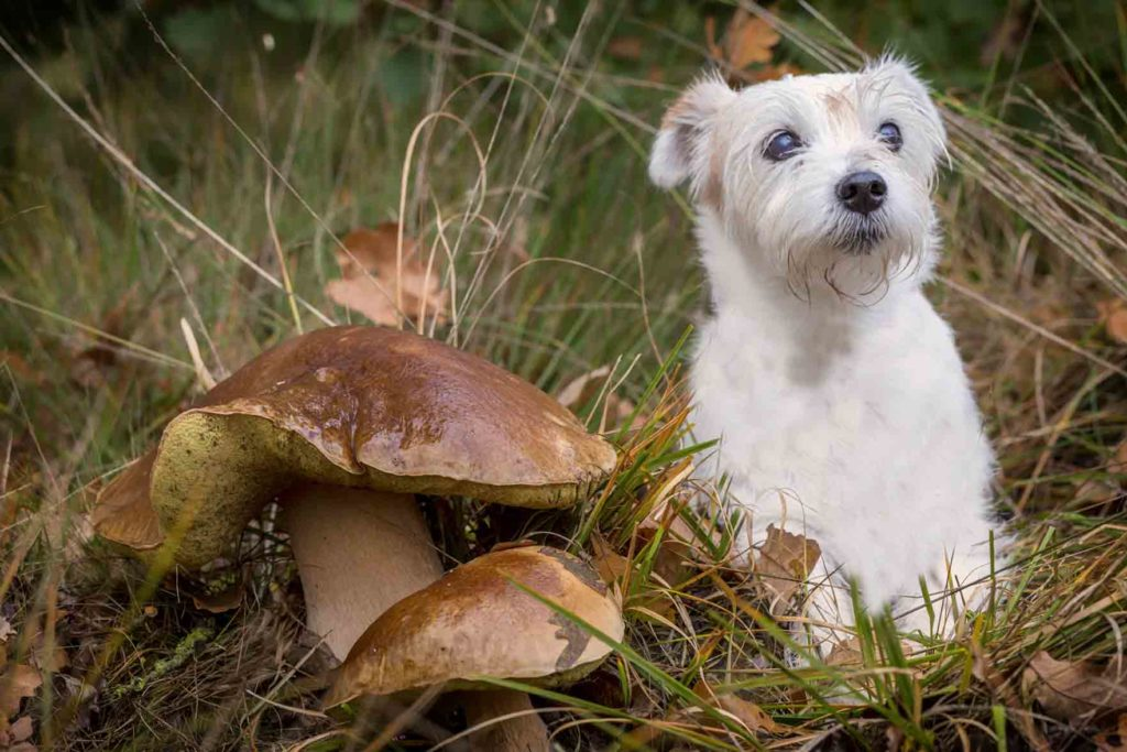 Koiralle vaaralliset sienet