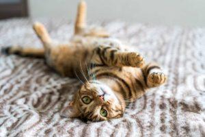 Suloinen kissa makaa sängyllä ja katsoo kameraa.