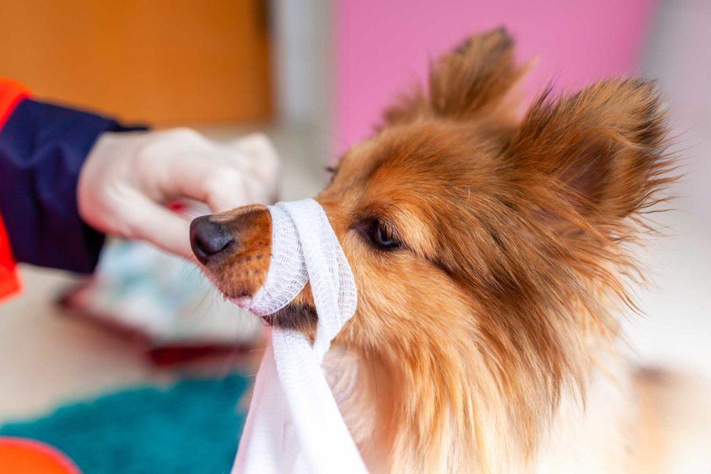 Kuvassa koiralle tehdään kuonosidettä.