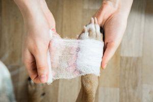 Ihminen laittaa koiran tassuun sidettä