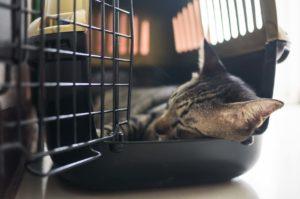 Kissa nukkuu avoimessa kuljetuslaatikkossa.