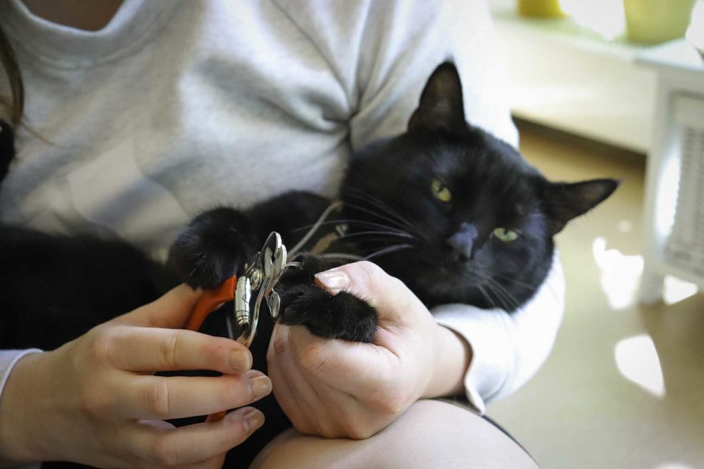 Omistaja pitää kissaa sylissä ja leikkaa sen kynsiä