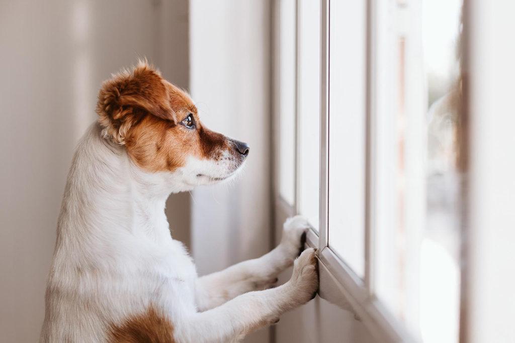 Yksinoleva koira odottaa ikkunalla