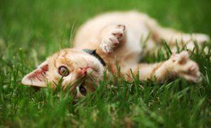 Oranssi kissa makaa nurmikolla ja katsoo kameraan