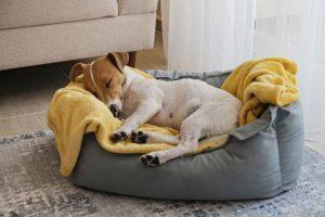 Koira nukkuu omassa pedissään