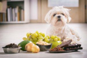 Pieni valkoinen koira istuu sille vaarallisten ruoka-aineiden takana