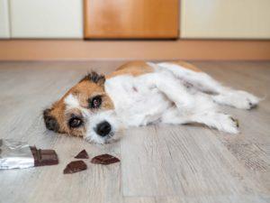 Koira makaa lattialla suklaapalojen vieressä